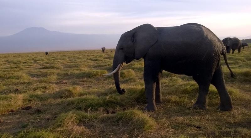 Amboselli, éléphants devant le Kilimandjaro