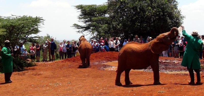biberonnage des éléphanteaux à la fondation Sheldrick