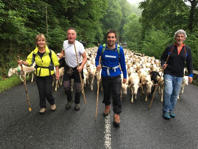 David Labarre conduit une transhumance de moutons