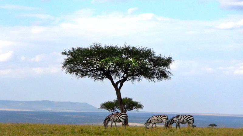 Masai Mara, zèbres sous un arbre