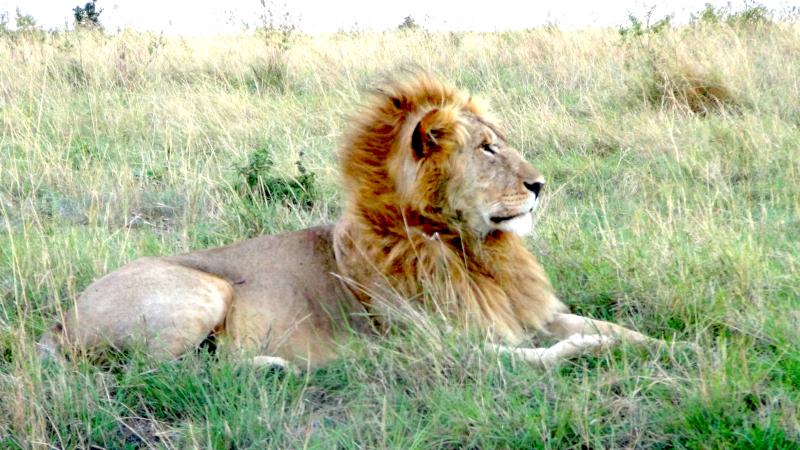 Un lion dans le Masai Mara